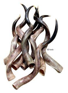 Kudu hoorn gepolijst  XL