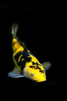 Yellow And Black Koi Canvas Print / Canvas Art by Rebecca Cozart