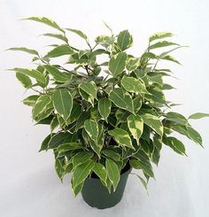 """Java Starlight Weeping Fig Tree - Indoor or Bonsai -Ficus - 4"""" Pot- from jmbamboo JM BAMBOO http://www.amazon.com/dp/B00S50M4BA/ref=cm_sw_r_pi_dp_.kDDwb1J6JERZ"""