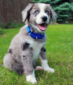 Blue Merle Border Collie puppy <3