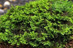 Riccardia Chamedryfolia   Московские Аквариумные Растения