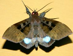 Red-eyed moth Gunung Leuser National Park, National Parks, Moth, Butterflies, Red, Animals, Animales, Animaux, Butterfly