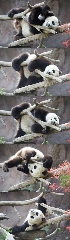 #panda Xiao Liwu (aka Mr. Wu) in rare form. Photos by Mollie Rivera