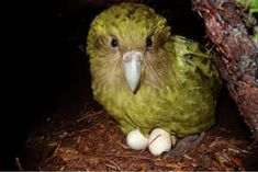 A Breeding Breakthrough for New Zealand's Chubby Night Parrot - Atlas Obscura Animals And Pets, Cute Animals, Strange Animals, Chubby, What Is A Bird, Wale, Great White Shark, Animal 2, Endangered Species