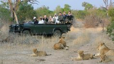 Following the recent fatal attack in a lion park, Wild Wings Safaris explores why open safari vehicles are still safe.
