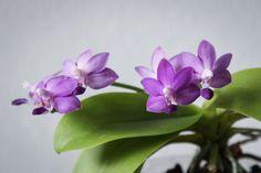 Purple Martin, Canon Eos, Shiva, Orchids, Creative, Plants, Phalaenopsis Orchid, Bees, Plant
