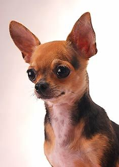 Chi of the day #chihuahua #chihuahuatypes #chihuahuadogs