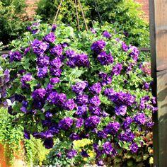 petunien schm cken garten und balkon im herbst petunien balkonblumen und gartenpflanzen. Black Bedroom Furniture Sets. Home Design Ideas