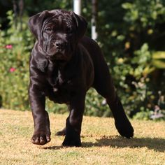 Black Boerboels - Top Boerboel Top Dog Breeds, Labrador Retriever, Dog Food Recipes, Dogs, Animals, Animales, Animaux, Dog Recipes, Doggies
