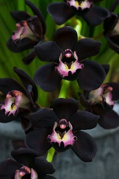 Black Orchids - Cymbidium Kiwi Midnight 'Geyserland' - Click image to find more Science & Nature Pinterest pins