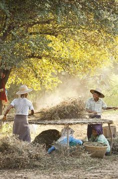 Groundnut harvest near Bagan, Burma. Photo: Philip Lee Harvey / www.tpoty.com