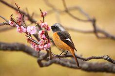 Joubitaki and plum blossoms, U-92SAN Photo Album