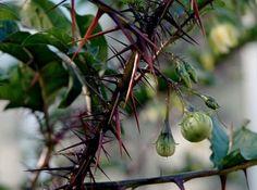 Solanum atropurpureum:  The tomato that is not for pussies.