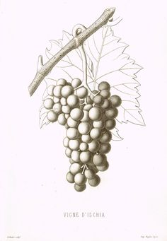 """Pomologie de la France - """"VIGNE D'ISCHIA, Pl. 18, (GRAPES)"""" - Lithograph of Fruit - 1863"""