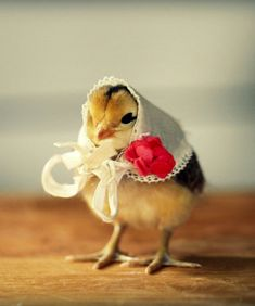 Chick in a Kerchief
