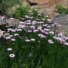 Castalis spectabilis - Google Search Google Search, Plants, Plant, Planets