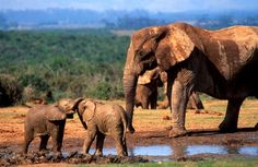 South Africa is probably my dream vacation - South Africa Port Elizabeth Addo Elephant National Park Port Elizabeth South Africa, Elephant Park, South Afrika, Out Of Africa, Game Reserve, African Elephant, Places To See, Safari, Rhinos