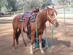 Penny is an adoptable Arabian Horse in El Dorado Hills, CA. Penny is a sweet, sociable mare that came to AAE as a result of her owners financial distress. She's relatively easy to handle, gentle and q...