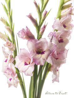Blumenbild: Blumenbild: Drei Gladiolen auf Leinwand, Kunstdruck oder Fototapete