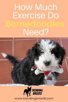 Bernedoodles are loving, intelligent, sociable dogs with a moderate energy level. They have a laid-back temperament but how much exercise do they need? What types of exercise and activities do they enjoy?