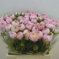 Ranunculus aazur light pink 46cm (also known as 'Little Frog' because they naturally grow near water) is a lovely Pink cut flower - wholesaled in Batches of 50 stems. Ideal for floristry work & wedding flowers.