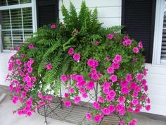 Petunias, Spectacular Flowering Plants for Beautiful Yard Landscaping Petunias have trumpet-shaped flowers and come in vibrant colors}, http_status: window.Now there's a thought - combine ferns with petunias in this years hanging baskets! Container Flowers, Container Plants, Container Gardening, Succulent Containers, Fall Containers, Petunias, Window Box Flowers, Window Boxes, Front Porch Flowers