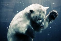 Beautiful photographs of a polar bear diving underwater / #photography #photo #bear #water #underwater #animal