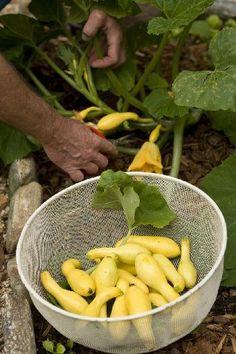 Kill Those Stinking Squash Bugs! l Steve Bender l The Grumpy Gardener