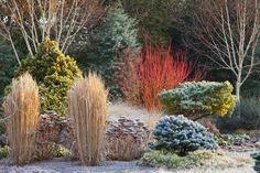 bressingham gardens winter - Cardinal redtwig dogwood, compacta corkbark fir, ornamental grasses. Adrian Bloom