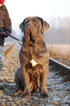 "The breed is commonly referred to as the ""Mastiff"". Also known as the English Mastiff this giant dog breed gets known for its splendid, good natu Mastiff Puppies For Sale, English Mastiff Puppies, Mastiff Breeds, Mastiff Dogs, Neo Mastiff, Giant Dog Breeds, Giant Dogs, Neopolitan Mastiff, British Mastiff"