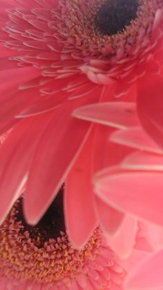 Salmon Gerberas <3 <3 Gerbera L. is a genus of ornamental plants from the sunflower family. It was named in honour of the German botanist and naturalist Traugott Gerber who travelled extensively in Russia and was a friend of Carolus Linnaeus.