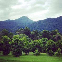 Fruit trees, rainforest and mountains at @daintreeicecream. A winning combination.