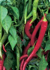 Article: How to grow chillies