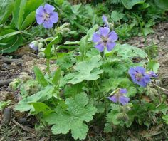 A detailed catalogue of my Heirloom Perennial Nursery, specialising in hardy cranesbill geraniums and other treasures. Cranesbill Geranium, Plant Nursery, Perennials, Garden, Plants, Geraniums, Vivarium, Garten, Lawn And Garden