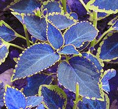 Garden Flowers - Annuals Or Perennials 100 Bag Blue Coleus Seeds, Beautiful Flowering Plants, Potted Bonsai Balcony Spell Color Blue Plants, Shade Plants, Potted Plants, Garden Plants, Flowering Plants, Shade Perennials, Foliage Plants, Plants With Colorful Leaves, Herb Garden