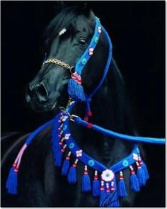 Stunning Black Arabian horse with blue halter and collar.
