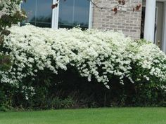 Clematis paniculata deer resistant welcomes fall with thousands of sweet scented autumn blooms Sweet Autumn Clematis, Autumn Clematis, Fast Growing Flowers, White Gardens, Bushes And Shrubs, Garden Vines, Summer Garden, Clematis Paniculata, Part Sun Perennials