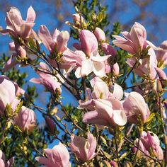 We have two Magnolia stellatas and this older one is putting on a lovely show this year as well.