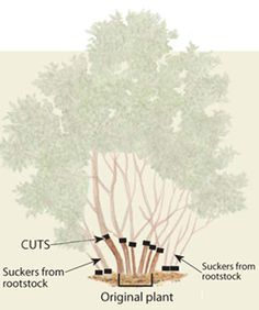 Pruning Lilacs - Fine Gardening Article. For when I need to start pruning my new lilac!