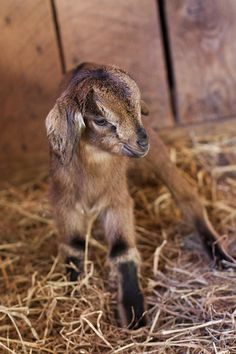 We had goats who had baby goats. Had one that used to get out and steal the newspaper. Goats will eat anything that doesn't eat them first. Cute Baby Animals, Farm Animals, Funny Animals, Wild Animals, Beautiful Creatures, Animals Beautiful, Cute Goats, Baby Goats, Mundo Animal
