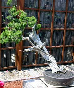 Consejos y cuidados de los bonsáis de exterior #jardineria #bonsai