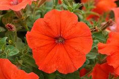 25 Seeds Pelleted African Sunset Petunia Seeds by nurseryseeds