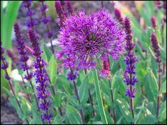 Salvia 'Caradonna' with Allium 'Purple Sensation'; by Freda Cameron at Defining Your Home Rock Plants, Garden Plants, Meadow Sage, Geranium Rozanne, Alchemilla Mollis, Sun Loving Plants, Xeriscaping, Garden Inspiration, Garden Ideas