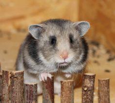 Hamsterzucht von Sweetness (dark grey)