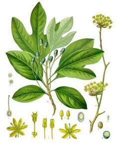 Plant Portrait - Sassafras albidum