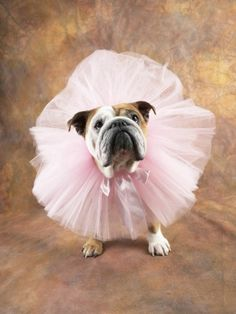 The major breeds of bulldogs are English bulldog, American bulldog, and French bulldog. The bulldog has a broad shoulder which matches with the head. I Love Dogs, Puppy Love, Cute Dogs, Funny Dogs, Bulldogs Ingles, Cute Bulldogs, Bulldog Puppies, Funny Bulldog, Chubby Puppies