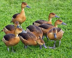 Fulvous Whistling Tree Ducks by Foto Martien, via Flickr  A small group of these birds from the eastern part of the US can currently be found at the Village Creek Drying Beds in Arlington, TX