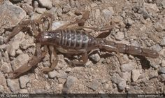 Escorpion o alacran en Atacama, Chile Chile, Projects, Mother Earth, Wilderness, Animals, Log Projects, Chili Powder, Chilis