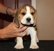 Beagle Puppy For Sale In Delhi Price Breeder Asiapets In
