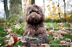 Wonderful tips on training an Australian Labradoodle & about their personalities.